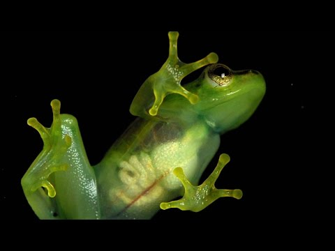 A Look Inside This See-Through Frog