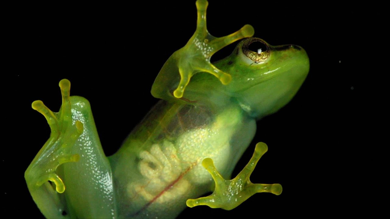 a look inside this see through frog youtube