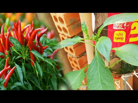 How to grow chili in cocacola battle at home easy