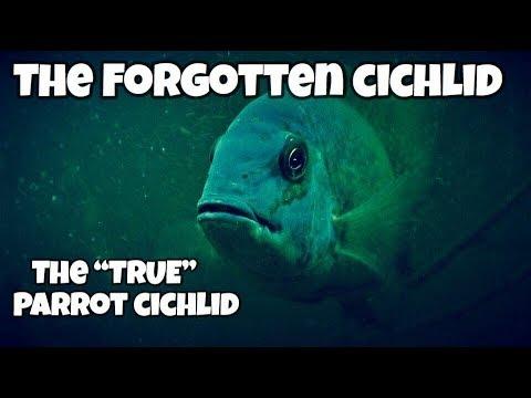 The Forgotten Cichlid- True Parrot Cichlid (Hoplarchus Psittacus)