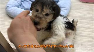 元気いっぱいのワイヤー・フォックス・テリアちゃん☆ この子の詳しい情...