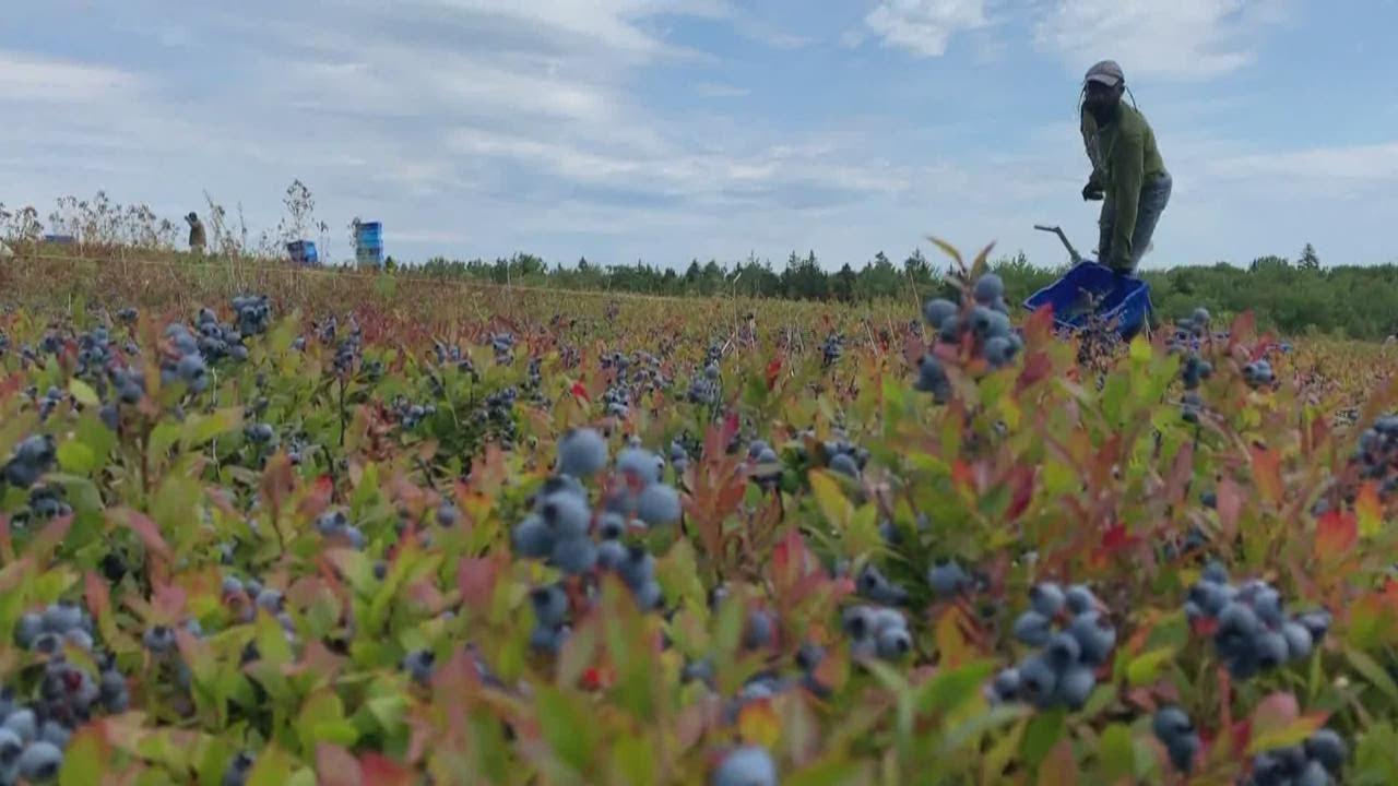 Maine blueberry growers face hardships amid the coronavirus pandemic