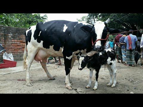 Dairy cow - Calves market price / Gavi goru - Basur market price / BD Life Trailer