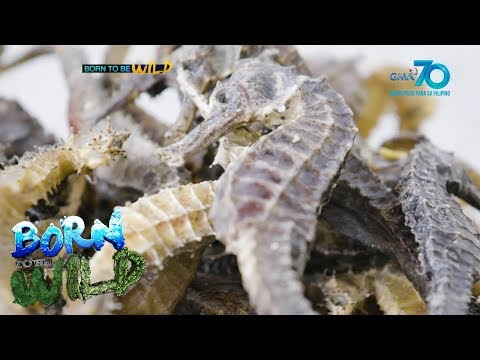 Born To Be Wild: Seahorse Trade In The Philippines