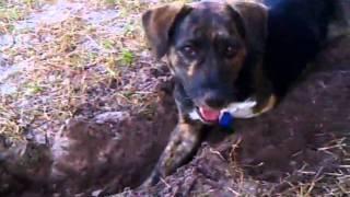 How A 3-legged Dog Digs Holes.