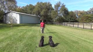Kona And Hilo The Labradors Off Leash Training.  Suburban K9 (madison)