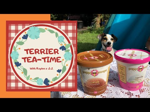 terrier-tea-time-ice-cream-party---jack-russells-try-puppy-scoops-ice-cream-for-dogs