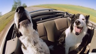 Собаки воют - лучшие моменты их воя за 2015 год * Hunder hyle