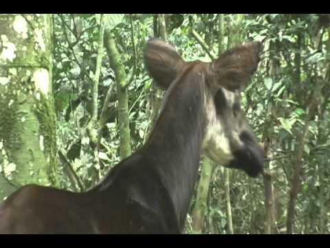 Okapi Walking in the Forest
