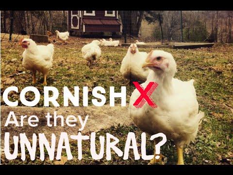 Are Cornish Cross Chickens Unnatural?