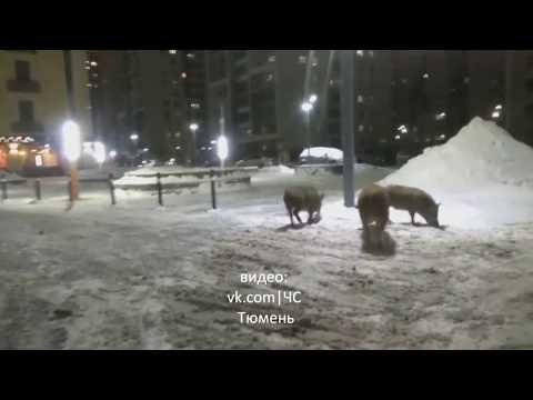 Свиньи в Европейском, Тюмень