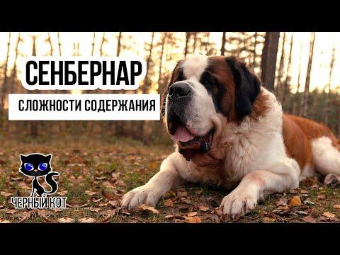 ✔ Сенбернар: сложности содержания, с которыми столкнётся владелец собаки. Минусы породы
