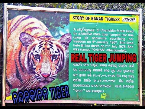 Nadankanan real tiger jump||Bengal tiger jump||Odisha tiger||nandankanan zoological park||Tiger jump