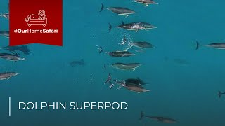 Drone captures Dolphin Superpod - Cape Town, South Africa | Rhino Africa