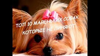 #16 ТОП - 10 маленьких собак которые не линяют и гипоаллергенные