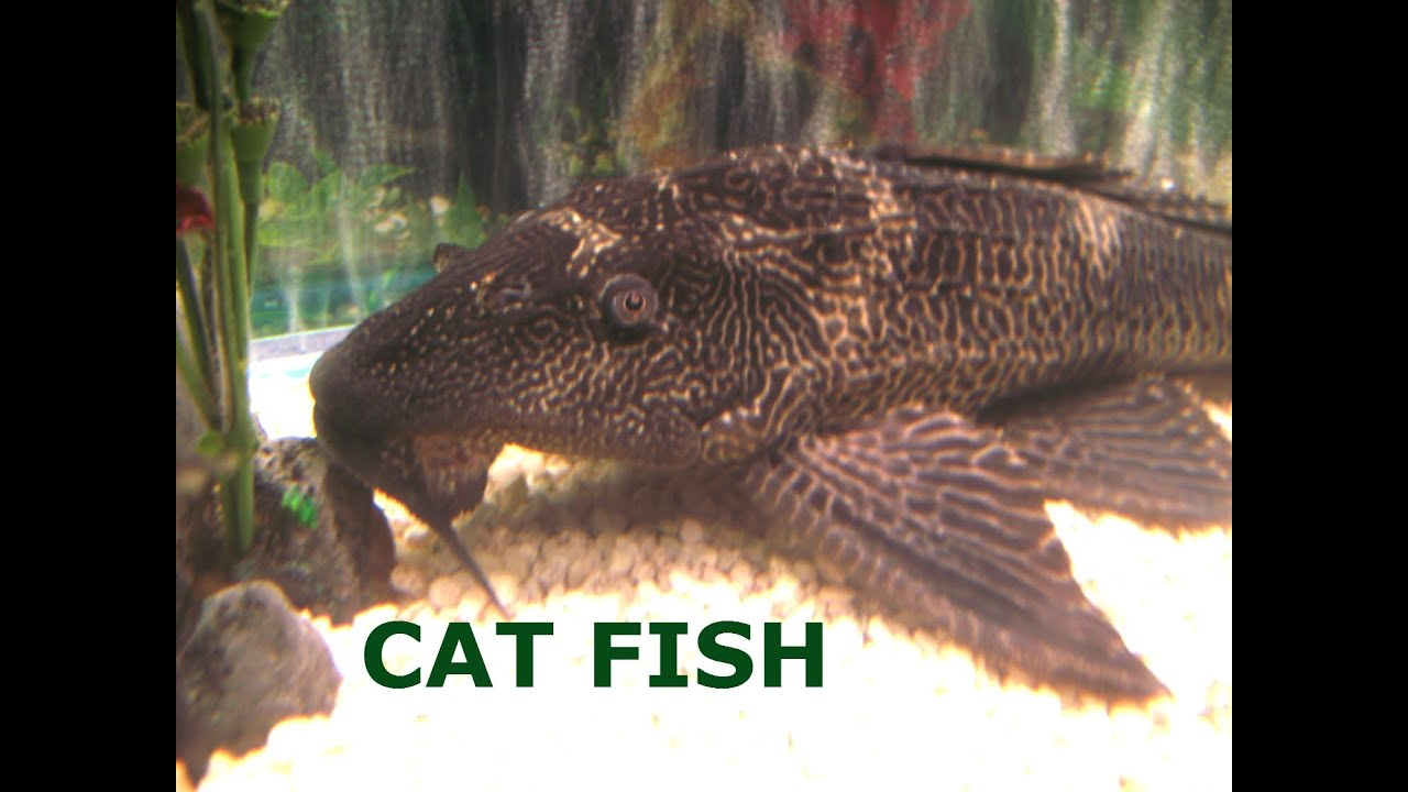 Fish in tank swimming at top - Big Cat Fish And School Of Fishes Swimming In The Aquarium Water Tank By Jazevox