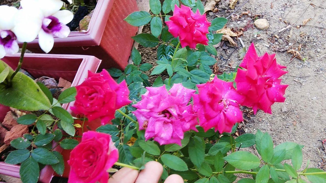 Ini Hasilnya Cara Pemupukan Bunga Mawar Agar Berbunga Youtube