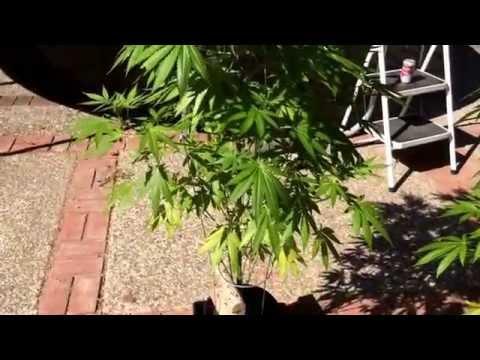 100% Organic Cannabis Garden pt.4