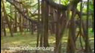 Great Banyan tree Botanical Garden Kolkata