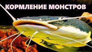 Кормление огромных аквариумных рыб