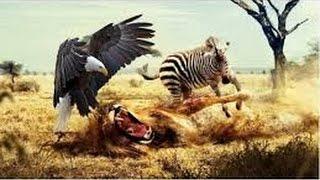 Africa Killer Birds Animal Sauvage