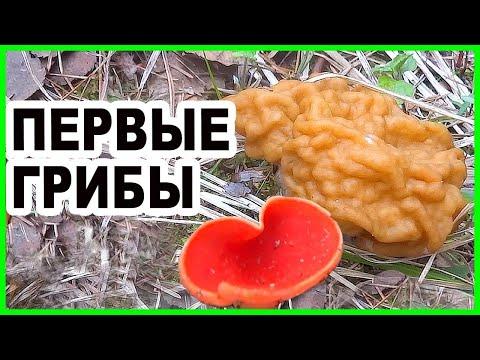 Грибы весной! Ищем весенние грибы в Подмосковье - Строчки. Саркосцифа. Поход в лес за грибами.