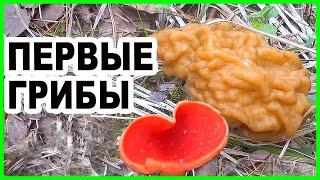 ГРИБЫ ПОШЛИ 2019 Строчки. Саркосцифа. Поход в лес за грибами. Первые весенние грибы в Подмосковье