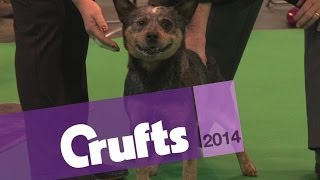 Australian Cattle Dog | Best Of Breed | Crufts 2014