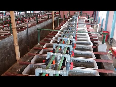 Monosex Tilapia Fish Fry Breeding Farm| মনোসেক্স তেলাপিয়ার রেনু পোনা উৎপাদন পদ্ধতি