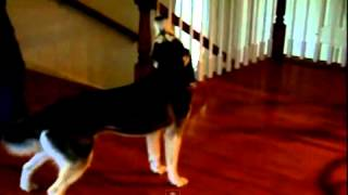 Funny Dogs - Siberian Husky Dog Talking