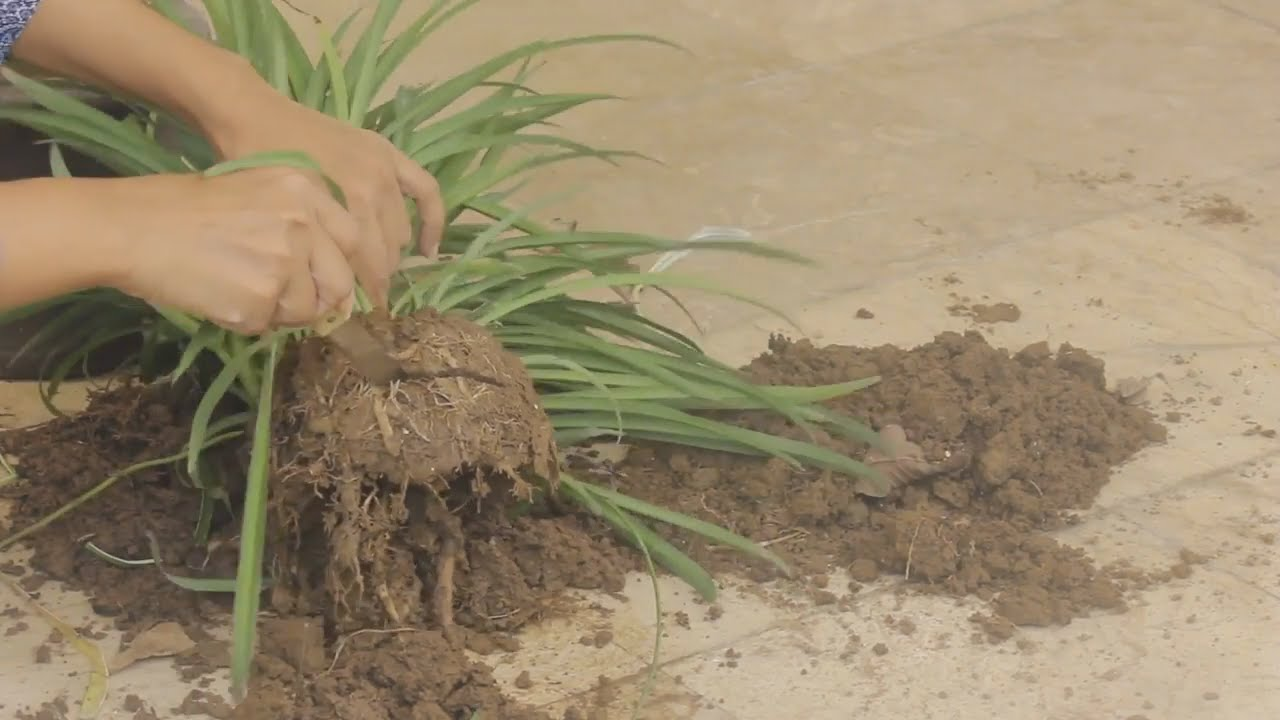 How To Fix Rootbound Spider Plant How To Prune Roots Urdu Youtube,Best Dishwasher