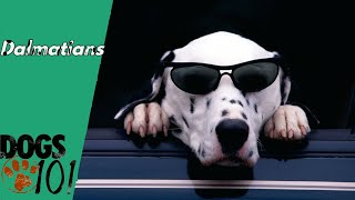 Dog 101  Dalmatians