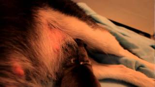 Siberian Husky Newborn- Puppy One Hour After Birth!