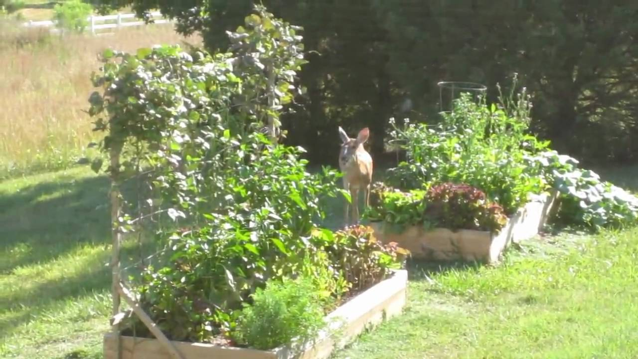 how to stop rats eating vegetable garden