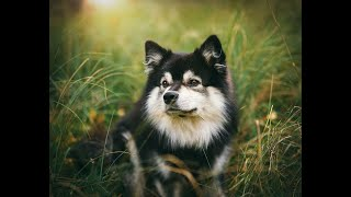 #109 FINNISH LAPPHUND 1/2   | Which Dog Should I Get? Dog Breed Selector