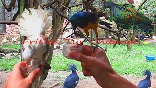 Exotic & Fancy birds - Nicobar pigeon, Crowned dove, Indian Fantail, Long-tailed glossy starling