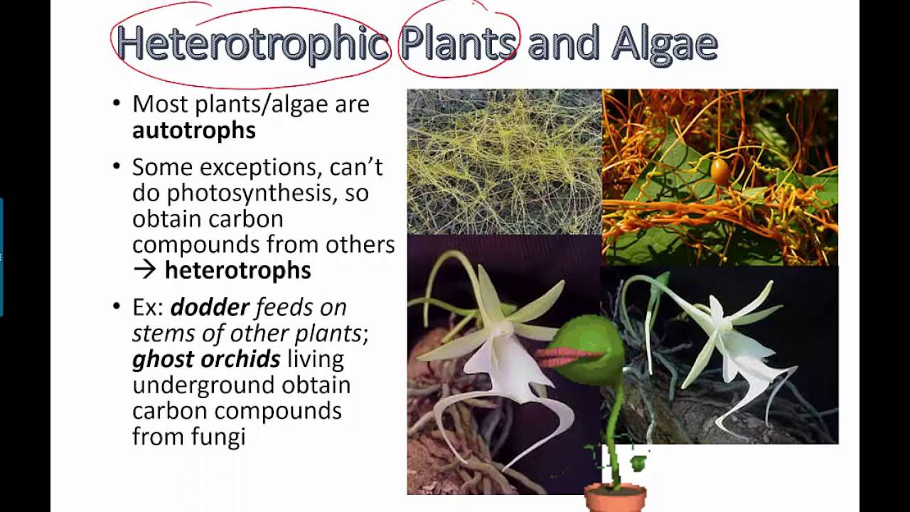 Heterotrophic Plants And Algae Ib Biology Youtube