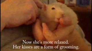 Pet rat - socializing, trust, snuggles.