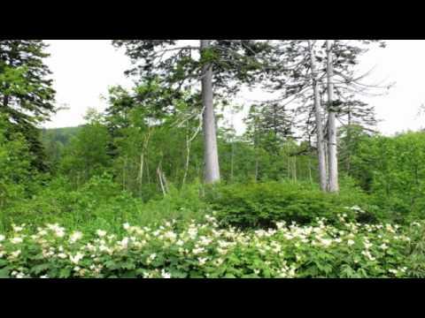 自然の音景色 L・夏の森 旭岳・Nature Sound
