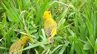 canário fauna brasileira silvestre CANARINHO DA TERRA animais selvagens pássaros brasil brazilian