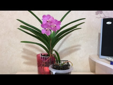 Ванда зацвела. 3-е домашнее цветение. Pachara Delight pink