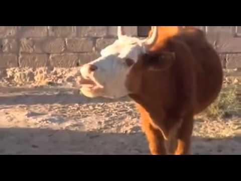 Die kuh xD
