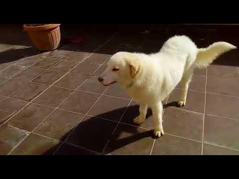 Cuccioli Golden Retriever Maschi In Regalo Youtube