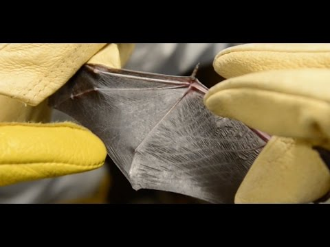 See how bat biology could lead to better aircraft