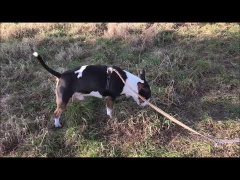 Miniature Bull Terrier Bully Zusammenschnitte