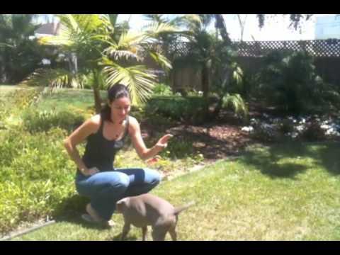 Kira Weimaraner Puppy Tricks 12 Weeks