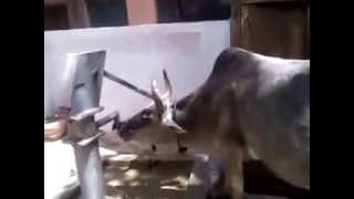 Kudrat Ka Karishma Miracle Cow