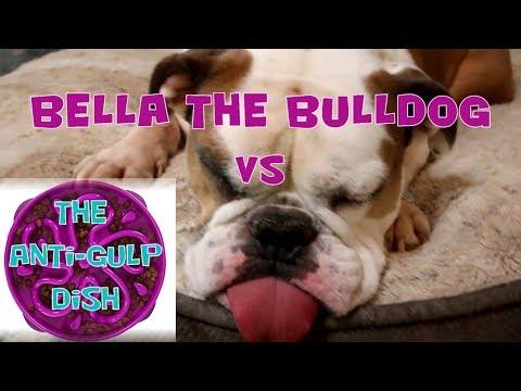 Bella The Bulldog VS The Anti-Gulp Bowl