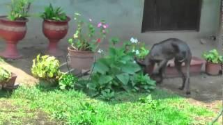 Peruvian Hairless Dog nacion viringo.avi