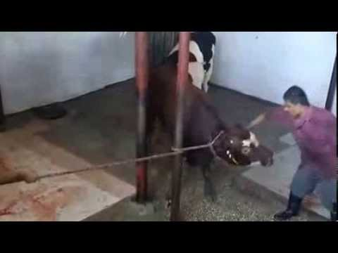 ✦AUSTRALIAN CATTLE VERY SAVAGELY MASSACRED IN GAZA-2013✦